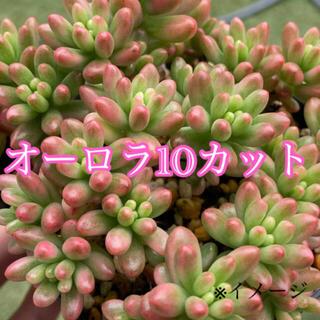 多肉植物 オーロラ 10カット 寄せ植えにも♪(その他)
