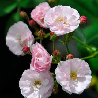つるバラ ♡群舞 ♡挿し木苗 ♡根っこ付き 棘なしのピンクのバラ(その他)