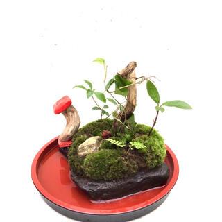 苔盆栽(苔島苔森の菌)(その他)