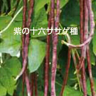 紫色の十六ササゲ種 たねの出品です(野菜)