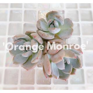 多肉植物 エケベリア *  オレンジモンロー カット苗 ②  *(その他)
