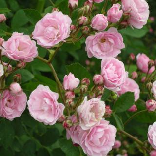つるバラ ♡群舞 ♡大きめの挿し木苗 ♡根っこ付き苗 ♡ピンクのバラ(その他)