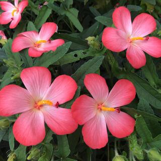 アベルモスクス   (アジアンハイビスカス)花の種40粒(その他)