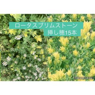 一年中庭が彩る!もふもふで可愛いロータスブリムストーン 新芽15本 (プランター)
