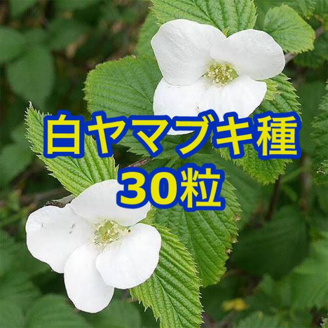 白ヤマブキ 自家採種 30粒 花 種  ハンドメイドのフラワー/ガーデン(プランター)の商品写真