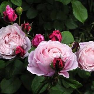 苗の状態最良! バラ 挿し木苗 『Chant Rose Misato』(その他)