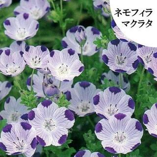 秋まき 花の種 ネモフィラ・マクラタ 種 50粒 (その他)