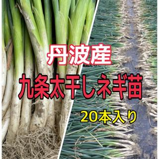 【干しネギ苗】九条太 丹波産‼️太さしっかり❗️(野菜)