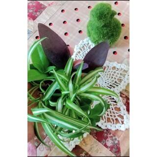 縁起の良い植物セット 斑入りオリズルラン ムラサキゴテン ベビーサンローズ(その他)