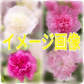 アルセア 八重咲き タチアオイ ホリホック スプリングセレブリティーズ 種(その他)