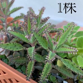 不死鳥 多肉植物 カランコエ セット(その他)