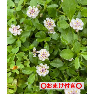ヒメイワダレソウ(その他)