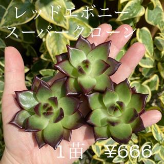 【大特価】エケベリア レッドエボニースーパークローン 多肉植物 韓国苗 カット苗(その他)