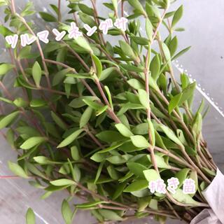 多肉植物 セダム ツルマンネングサ 万年草 抜き苗 梱包込 約75g 約40本超(その他)