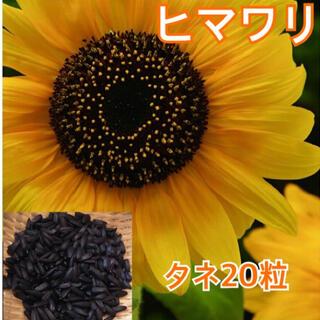 183)ヒマワリの種20粒(向日葵ガーデニング自家採取タネひまわり(その他)
