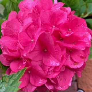 初根済みパッションピンクの可愛い紫陽花挿木挿し木苗お花ガーデンかガーデニング(その他)