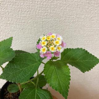 ランタナ 二苗 ピンク 黄色抜き苗(その他)