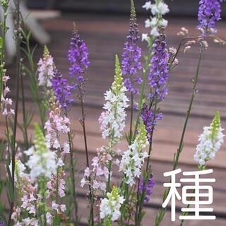 種 リナリアMIX 100粒(その他)