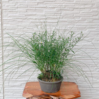 糸ススキ (つきあかり)&ノコンギク 白花 寄せ植え 秋の山野草(その他)
