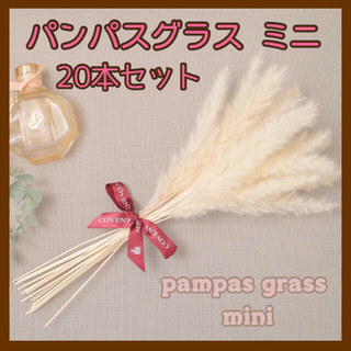 パンパスグラス ミニ ドライフラワー テールリード 白 20本セット(ドライフラワー)