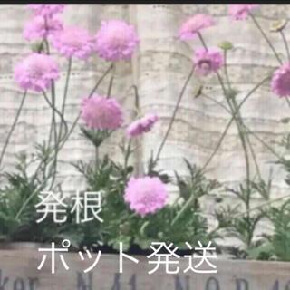 ★取り置き★スカビオサ ピンク♡挿し穂苗♡可愛いお庭♡ベランダガーデン♡(その他)