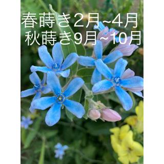 2    オキシペタラム(ブルースター)の種  ✤100粒♪♪500円✤(プランター)