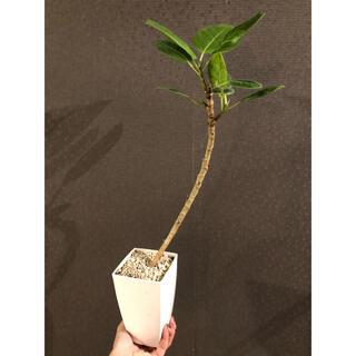 フィカス アルテシーマ アルテシマ 曲がり 鉢ごと 観葉植物 ゴムの木(プランター)