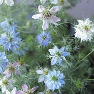 ニゲラ ペルシャンジュエル☆切り花やドライフラワーにもオススメ♡八重咲き種 種子(その他)