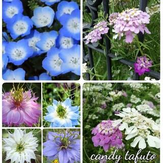 🌺花の種 ネモフィラ キャンディタフト ニゲラ(プランター)