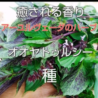 ホーリーバジル(オオヤトゥルシー)種20個(その他)