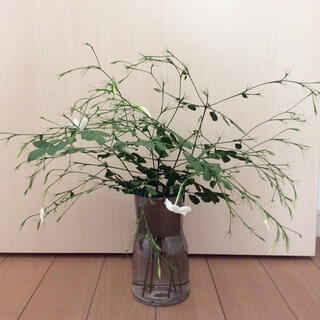 花付き挿し穂 シルクジャスミン  ホワイトプリンセス(その他)