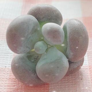 多肉植物 オレンジスノーボール 1苗(その他)