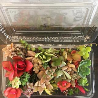 多肉植物 カット苗 16種類 寄せ植えなどに(その他)