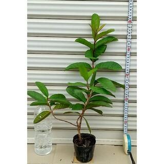 ホワイトグアバ 3年苗木  ≪ 樹高 : 鉢底から約 52cm ≫ - - ④(その他)