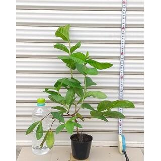ホワイトグアバ 3年苗木  ≪ 樹高 : 鉢底から約 52cm ≫ - - ⑤(その他)