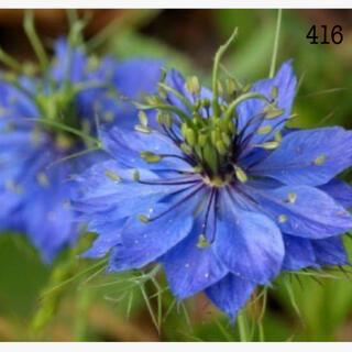 416   ニゲラ青花 種約300粒(プランター)