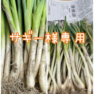 【お買い得‼️】細め九条太ねぎ苗50本入り❗️(野菜)
