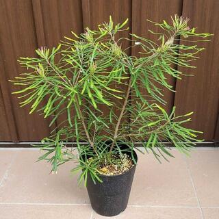 バンクシアスピヌロサ(ヘアピンバンクシア) 鉢植えc オージープランツ(プランター)
