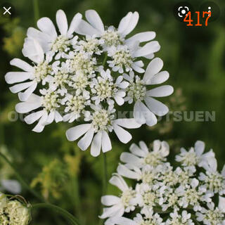 417   オルレア グランデ フローラ・オルレアの種 150粒以上(その他)