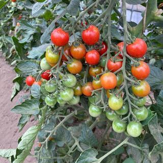 トマトミックス5キロ(野菜)