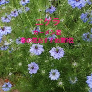 418   ニゲラ青花 種約300粒(その他)