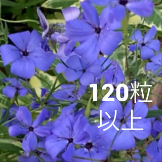 青い花!シレネ(ビスカリア ブルーエンジェル) 120粒以上(その他)