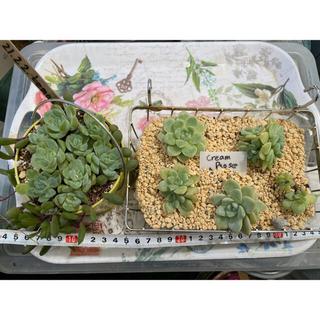 多肉植物 ♪Rady♪様専用 韓国苗+普及種根付き苗 17種類苗セット(その他)