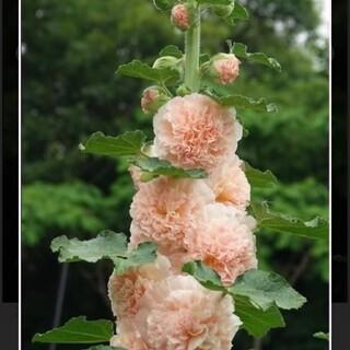 ホリホック桃色ピンク八重種20粒(その他)