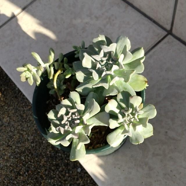 多肉植物  エケベリア(ルンヨニー.トプシーツルビー) ハンドメイドのフラワー/ガーデン(その他)の商品写真