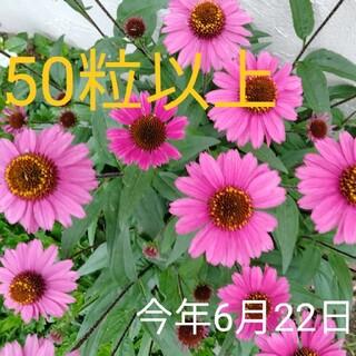 種★エキナセア★センセーションピンク 50粒以上 花の種 単品種栽培(その他)