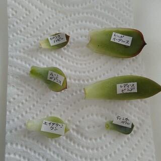 多肉植物 韓国苗の葉挿し 6種類セット 6枚(その他)