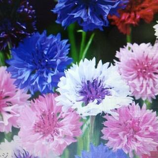 花の種         矢車草+金盞花(その他)