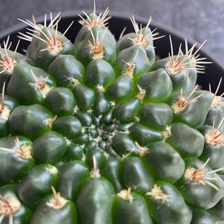 Gymocalycium bldianum 多肉植物 サボテン #アーキレイ(その他)