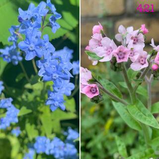 421   ブルーのシノグロッサム・ピンクのシノグロッサム 種各50粒(その他)